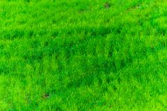 Green grass texture from a field. Natural background, fresh, nature, plant, lawn, grassland, spring, summer, turf, meadow, outdoor, beautiful, area, empty royalty free stock photo