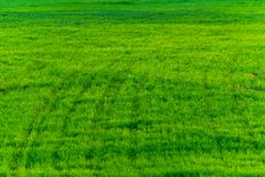 Green grass texture from a field. Natural background, fresh, nature, plant, lawn, grassland, spring, summer, turf, meadow, outdoor, beautiful, area, empty stock photo