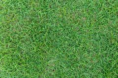 Green grass texture or green grass background. green grass for golf course, soccer field or sports background. Green grass texture or green grass background Stock Images