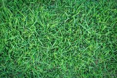 Green grass texture or green grass background. green grass for golf course, soccer field or sports background. Green grass texture or green grass background Royalty Free Stock Photo