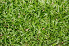 Green grass texture. Natural background. Royalty Free Stock Images