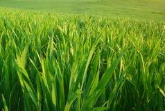 Green grass texture. Stock Photo