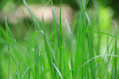 Green grass texture. Summer picture of green saturate grass texture Royalty Free Stock Photo