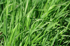 Green grass texture. Summer picture of green saturate grass texture Royalty Free Stock Images
