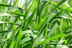Green grass texture. Summer picture of green saturate grass texture Royalty Free Stock Photography