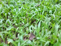 Green Grass Texture. Green wheat grass background texture Royalty Free Stock Images
