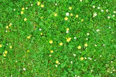 Green grass texture with white and yellow flowers. Abstract green grass texture with white and yellow flowers royalty free stock images