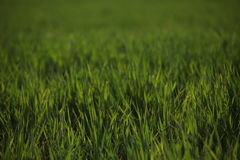 Green grass. Thick, lush, succulent grass on the meadow Royalty Free Stock Photo