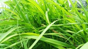 Blady grass green leaf nature. stock photos