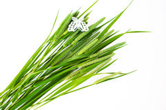 Green grass timothy-grass on a white background Royalty Free Stock Photography