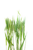 Green grass timothy-grass on a white background Stock Photos