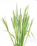 Green grass timothy-grass on a white background Royalty Free Stock Images