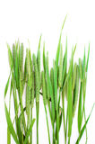 Green grass timothy-grass on a white background Stock Image