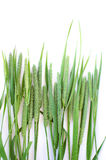 Green grass timothy-grass on a white background Stock Photography