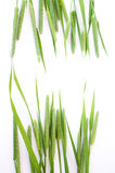 Green grass timothy-grass on a white background Royalty Free Stock Photos