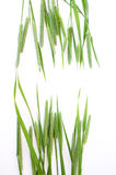 Green grass timothy-grass on a white background Stock Images