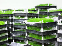 Green grass in tray royalty free stock images