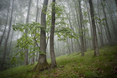 Green grass and trees in a forest with fog Stock Images