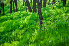 Green grass and trees Royalty Free Stock Images