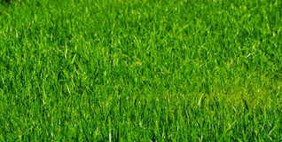 Green grass turf Royalty Free Stock Images