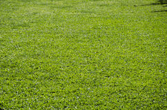 Green grass turf floor texture Stock Photos