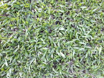 Green grass turf in garden, natural eco background Royalty Free Stock Photos