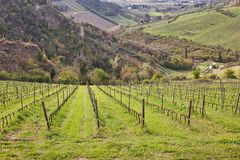 Green grass in vineyard fields royalty free stock photography