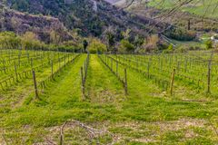 Green grass in vineyard fields royalty free stock image