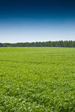 Green grass under blue bright sky Stock Images