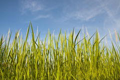 Green Grass Under Blue Clear Sky. Green grass growing under clear blue sky background stock images