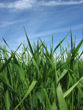 Green grass under blue sky Royalty Free Stock Image