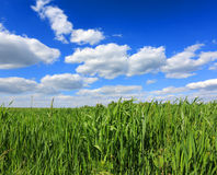 Green grass under nice sky Royalty Free Stock Image