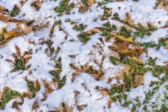 Green grass under orange autumn oak leaves and light snow Stock Photography