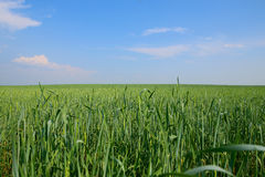 Green grass. Under the sky spacious field Royalty Free Stock Photography