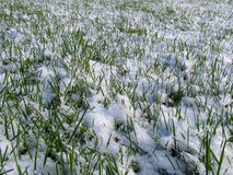 Green Grass under the Snow Royalty Free Stock Photography