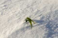 Green grass under the snow Royalty Free Stock Image