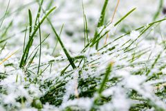 Green grass under the snow. Grass covered with snow. White snow and green grass background. Grass on a meadow covered with snow.Gr. Green grass under the snow royalty free stock photos