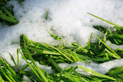 Green grass under the snow Royalty Free Stock Images