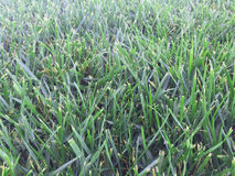 Green grass upclose. Close up picture of green grass  from a garden lawn Stock Images