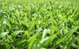 Green grass. A verdant lawn to sleep to the touch Royalty Free Stock Photo