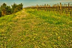 Green grass in vineyard fields royalty free stock photos