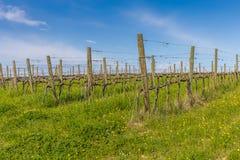 Green grass in vineyard fields. Green grass under bare vines in vineyard fields stock images
