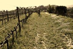 Green grass in vineyard fields stock photos