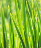 green grass with water droplet in sunshine Royalty Free Stock Photo