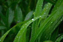 Green grass with water droplets Royalty Free Stock Images