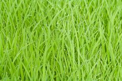 Green Grass With Water Droplets Royalty Free Stock Photography