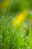 Green grass with water drops. Background Stock Image