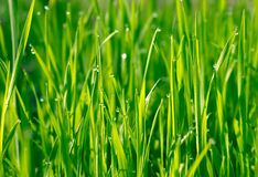 Green grass with water drops. Background Royalty Free Stock Image