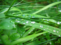Green grass with water drops. Closeup stock images