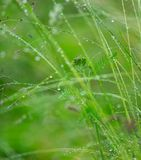 Green grass with water drops Royalty Free Stock Image